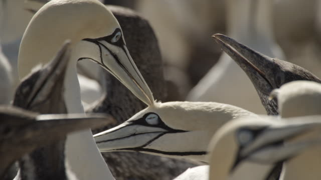 ganets - gannet stock videos & royalty-free footage