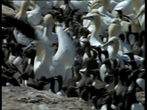 Gannet barges through guillemot colony whilst carrying bit of seaweed, Funk Island, Canada