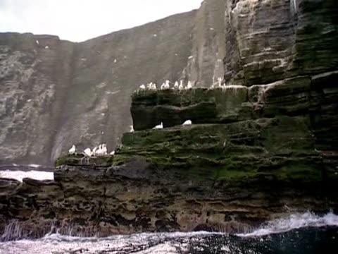 vídeos de stock e filmes b-roll de a gannet colony on the cliffs of shetland - organismo aquático