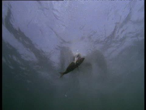 Gannet dives and grabs fish carcass, Bass Rock