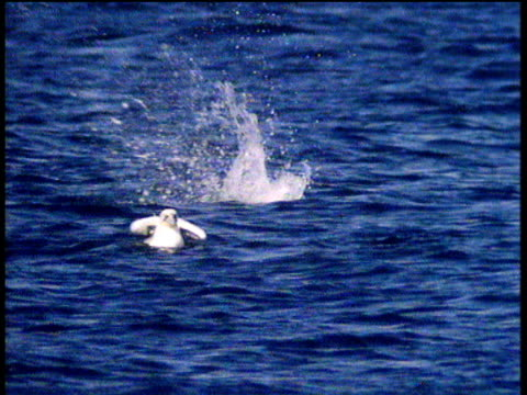 gannet dives into sea like an arrow, while another flies off towards camera - gannet stock videos & royalty-free footage