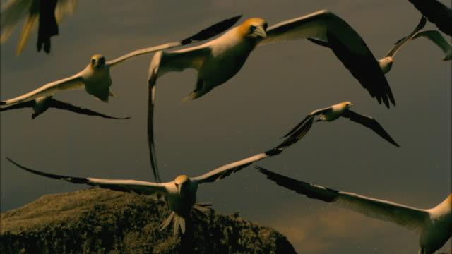 vídeos de stock, filmes e b-roll de slomo la cu pan gannet flies in profile - ganso patola