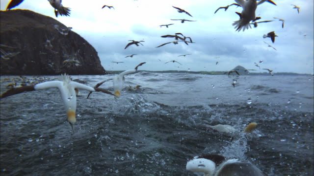 slomo gannet group plunge diving close to cam - gannet stock videos & royalty-free footage