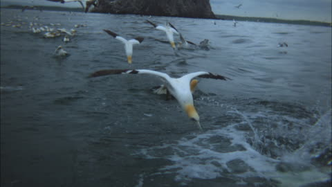 slomo gannet group plunge diving close to cam - sea bird stock videos & royalty-free footage