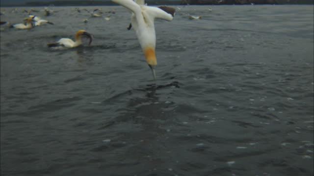 vídeos de stock, filmes e b-roll de slomo ms gannet plunge dives through frame - ganso patola