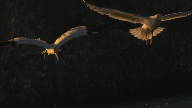 slomo gannet profile shallow plunge dive with others in background in evening light - gannet stock videos & royalty-free footage