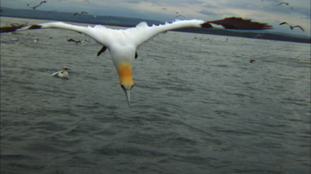 slomo ms gannet shallow dive in profile close to camera - sea bird stock videos and b-roll footage