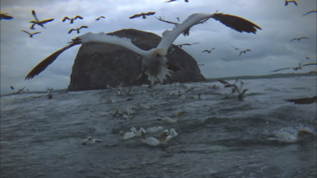 slomo td gannet stalls then plunge dives close to camera - gannet stock videos & royalty-free footage