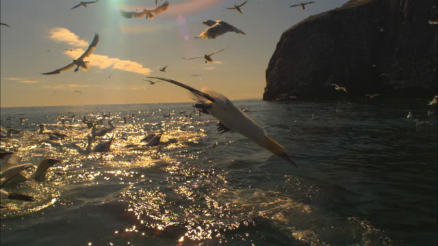slomo ws gannets diving amongst herring gulls with bass rock partial background - gannet stock videos & royalty-free footage