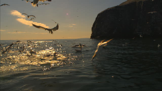 slomo ws gannets diving close to camera with bass rock partial background in evening light - gannet stock videos & royalty-free footage