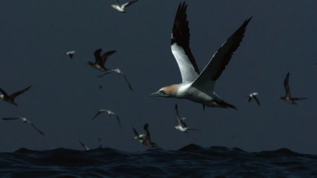 Gannets fly low over sea.
