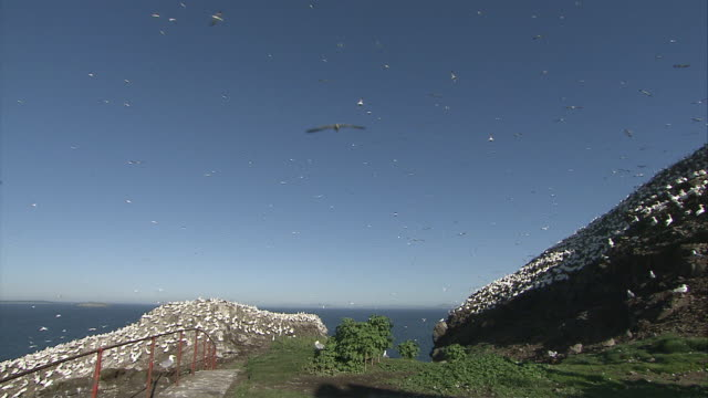 stockvideo's en b-roll-footage met ws gannets flying above rocky cliffs / bass rock, firth of forth, scotland - firth of forth