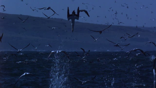 gannets plunge feeding. - diving into water stock videos & royalty-free footage