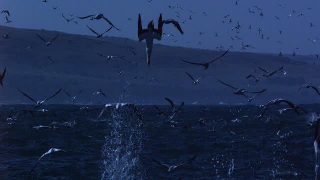vídeos de stock, filmes e b-roll de gannets plunge feeding. - ganso patola