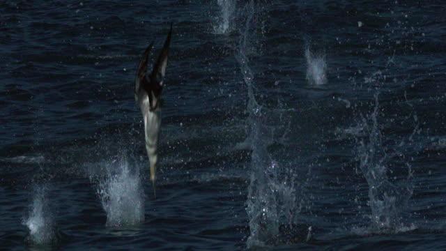 gannets plunge feeding. - füttern stock-videos und b-roll-filmmaterial