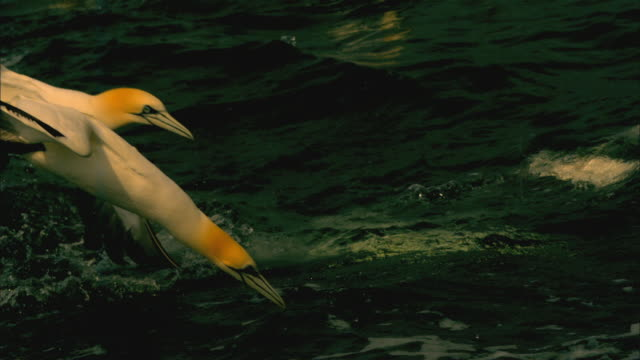 slomo ms 2 gannets shallow plunge dive together in profile - gannet stock videos & royalty-free footage