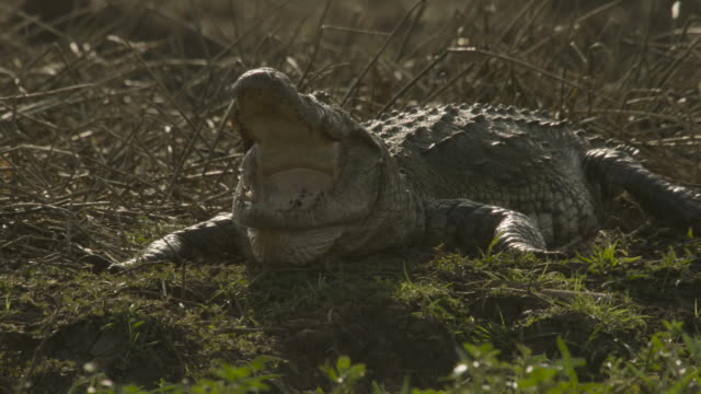 gaping crocodile, sri lanka. - クロコダイル点の映像素材/bロール