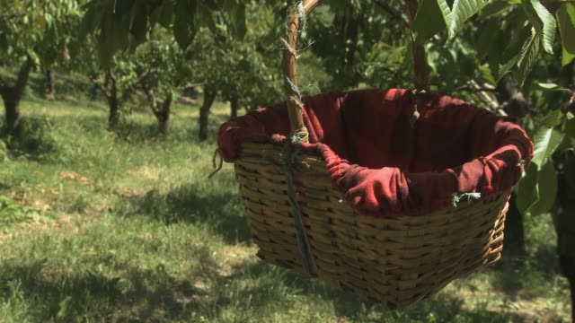 garbagna bella cherry slow food presidia in italy up until the early 1980s garbagna a small town in the grue valley was known for its cherry trees... - rustic stock videos & royalty-free footage