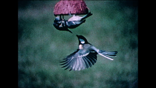 garden birds argue over coconut bird feeder; 1978 - small group of animals stock videos & royalty-free footage