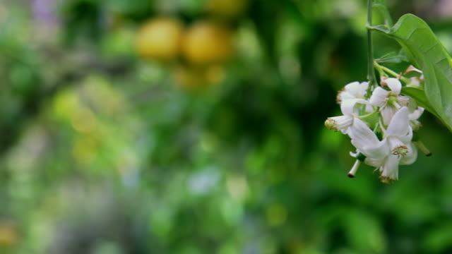Garden. Flower of grapefruit, tree