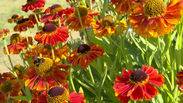 garden flower with a bee collecting pollen - johnfscott stock videos & royalty-free footage