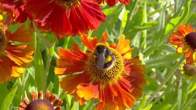 garden flower with a bumblebee collecting pollen - johnfscott stock videos & royalty-free footage