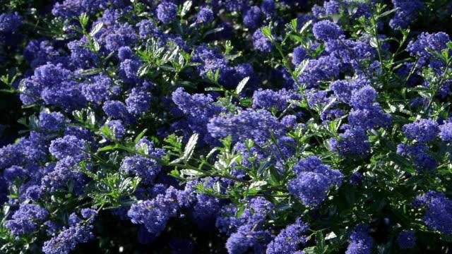 garden flowers - 英国スカーブラ点の映像素材/bロール