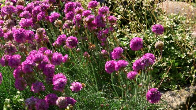 vídeos de stock e filmes b-roll de garden flowers - scarborough reino unido