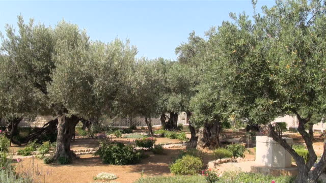 Garden of gethsemane videos and b roll footage getty images for Age olive trees garden gethsemane