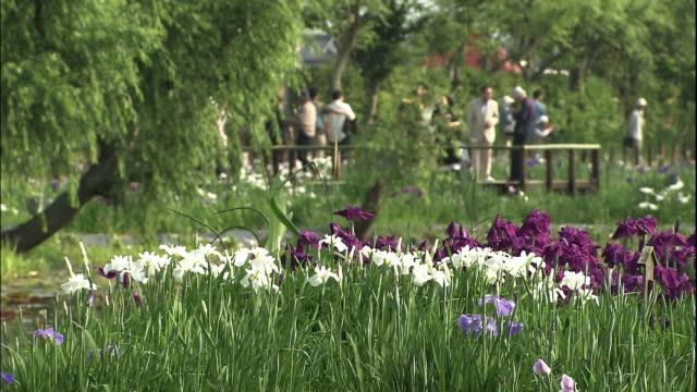 garden of purple or white japan irises inside the sawara city aquatic botanical garden on the other side of the river are tourists. over the weekend,... - kanto region stock videos & royalty-free footage
