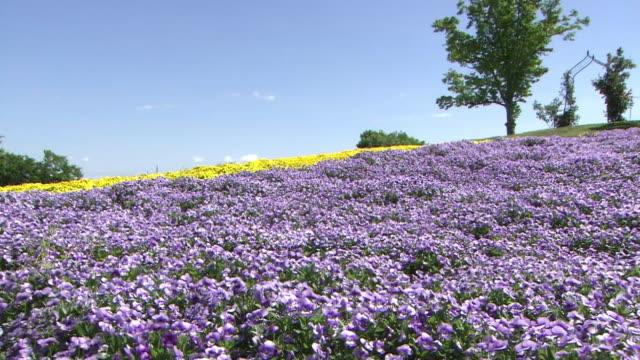 vidéos et rushes de garden of viola flowers, saitama, japan - colline
