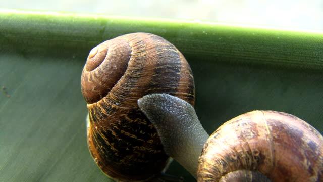Garden snail moves over shell