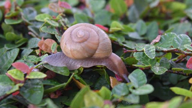 vídeos de stock, filmes e b-roll de garden snail moving in wet plant during morning hours - molusco invertebrado