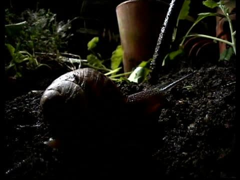 vídeos de stock, filmes e b-roll de garden snail slides over soil - gastrópode