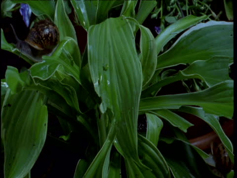 garden snails eat potted hosta in garden - apparato digerente animale video stock e b–roll