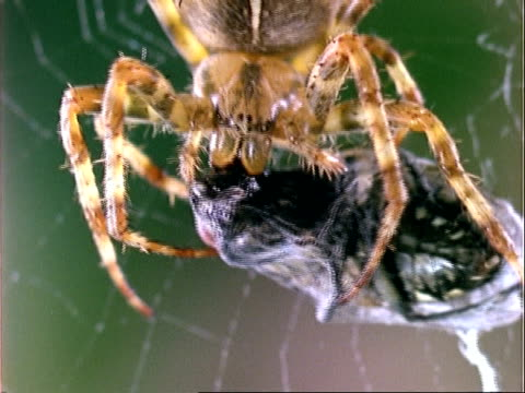 garden spider (araneus), bcu spider eats prey, england, uk - trapped stock videos & royalty-free footage
