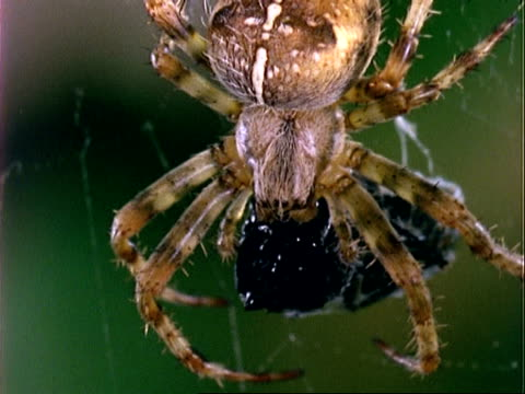 garden spider (araneus), bcu spider with prey, england, uk - trapped stock videos & royalty-free footage