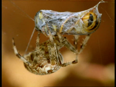 Garden Spider (Araneus) biting wasp, wasp sting repeatedly emerges & retracts, England