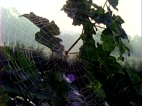 garden spider (araneus), dewy orb web, zooms in to cu spider, england, uk - morning dew stock videos & royalty-free footage
