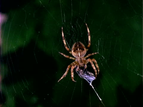 garden spider (araneus), mcu spider on web with prey, england, uk - trapped stock videos & royalty-free footage