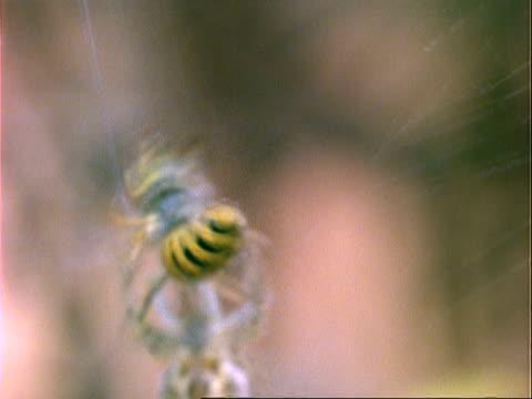 garden spider (araneus), mcu spider wraps wasp in silk, england, uk - nest stock-videos und b-roll-filmmaterial