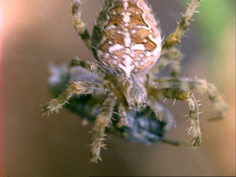 garden spider (araneus), cu spider with prey, england, uk - trapped stock videos & royalty-free footage