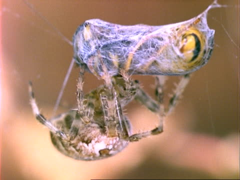 vídeos de stock, filmes e b-roll de garden spider (araneus), cu spider with wasp prey, england, uk - confinamento