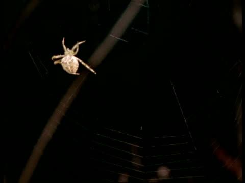 Garden Spider (Araneus) spinning orb web against black background, England