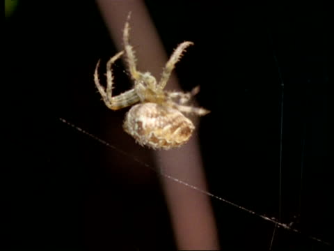 Garden Spider (Araneus) spinning silk threads, England