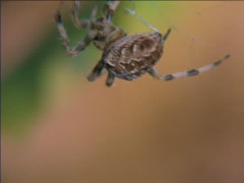 garden spider - クモ類点の映像素材/bロール