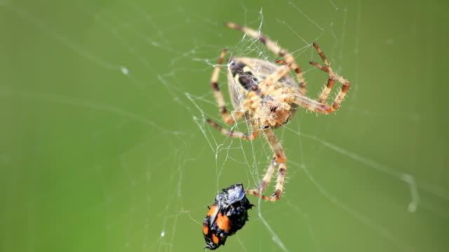 garden spider with prey - 捕らわれる点の映像素材/bロール