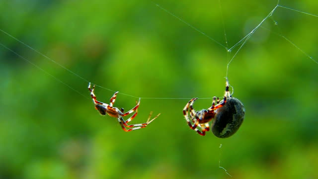 garden spiders - plucking an instrument stock videos & royalty-free footage