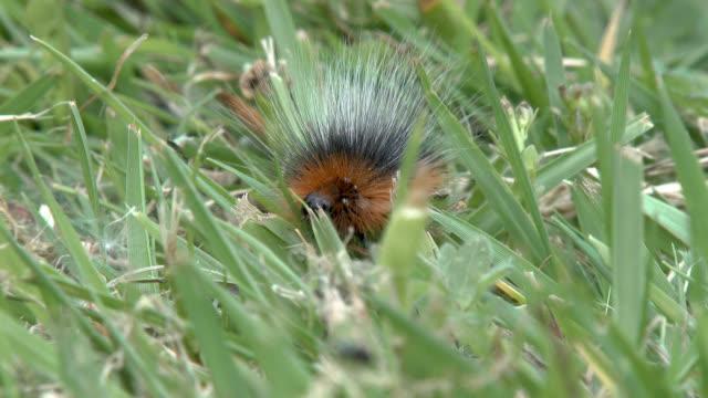 garden tiger moth caterpillar - johnfscott stock videos & royalty-free footage
