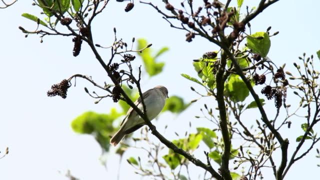 garden warbler - warbler stock videos & royalty-free footage